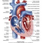 Comment travailler l'anatomie UE 5