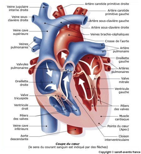 Schéma anatomie tete et cou